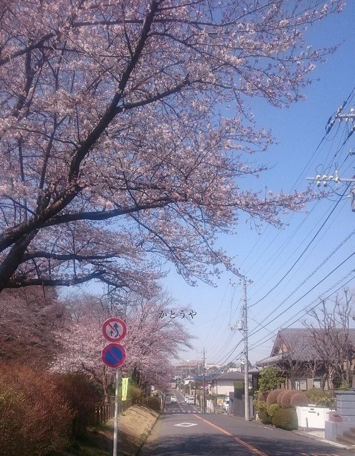 お花見 桜 サクラ さくら 宴会