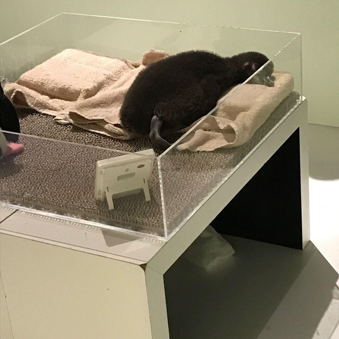 すみだ水族館で6/23まで会える赤ちゃんペンギンです。