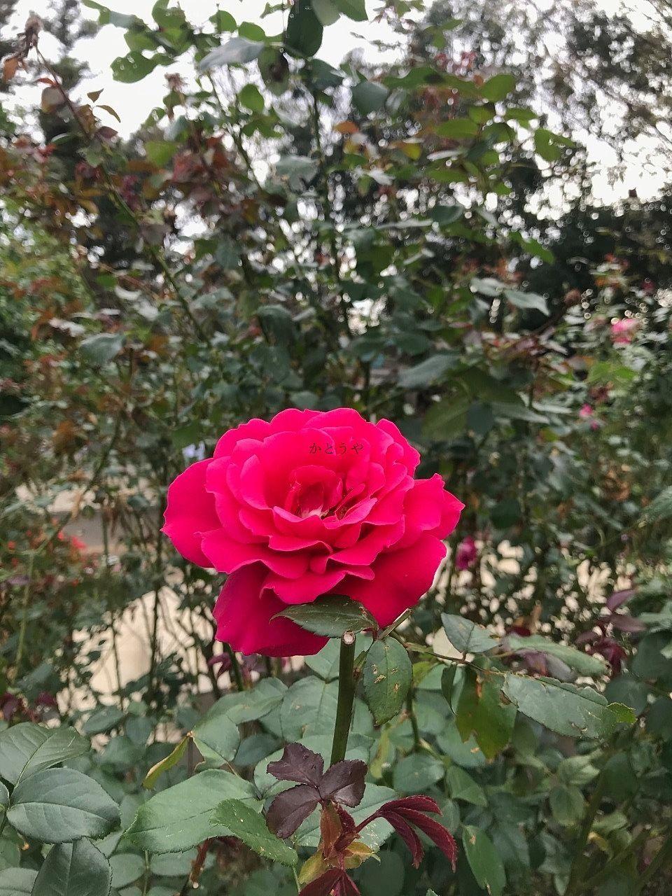 船橋市にある京成バラ園にあるマリー・アントワネットという品種のバラ